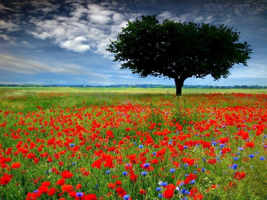 Google  Campo De Flores Vermelhas E Azuis